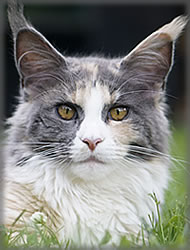 A'Lena of Maine Coon Castle