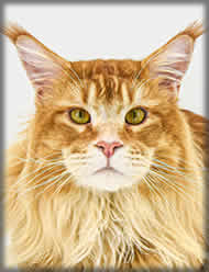 Anton of Maine Coon Castle