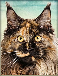 Filly of Maine Coon Castle