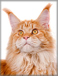Foxy of Maine Coon Castle