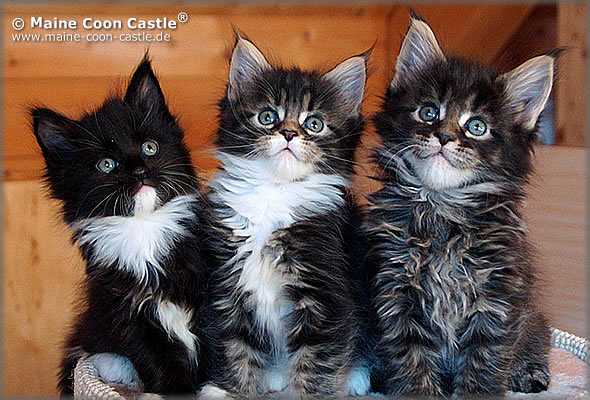 Kitten of Maine Coon Castle