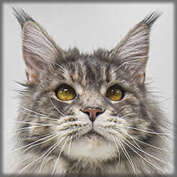 Steffi of Maine Coon Castle