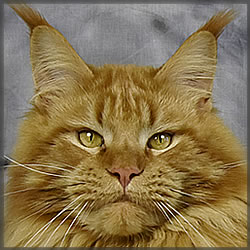 Zeus of Maine Coon Castle