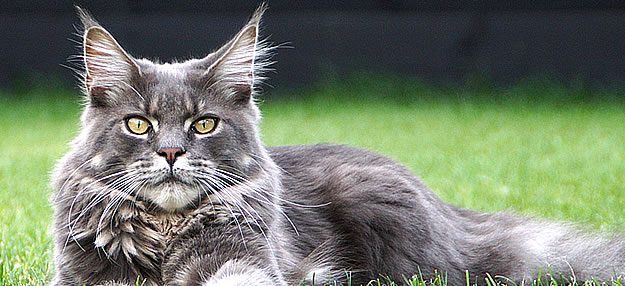 Buddy of Maine Coon Castle