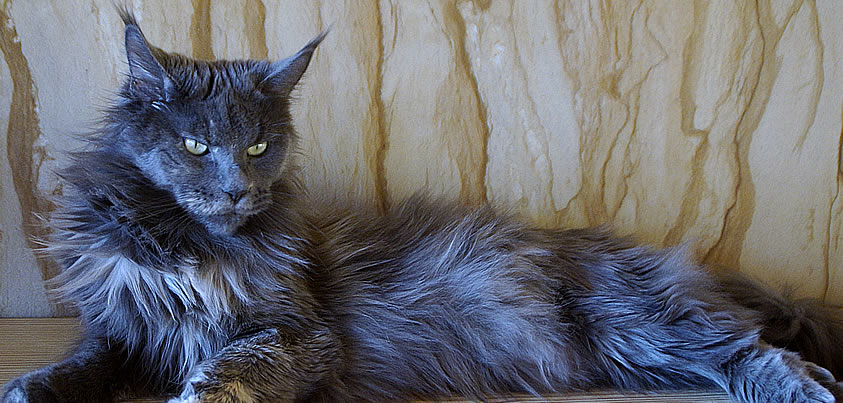 Maine Coon Katze Hana by Maine Coon Castle