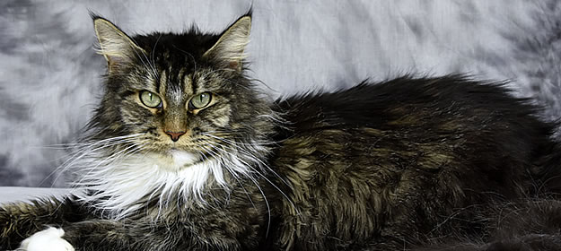 Maine Coon Katze Jamaika Kiss of Pegasuscastle